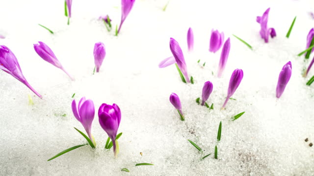 vidéos et rushes de fleurs de crocus fleurissant sur la pré enneigée dans le laps de temps de ressort - crocus