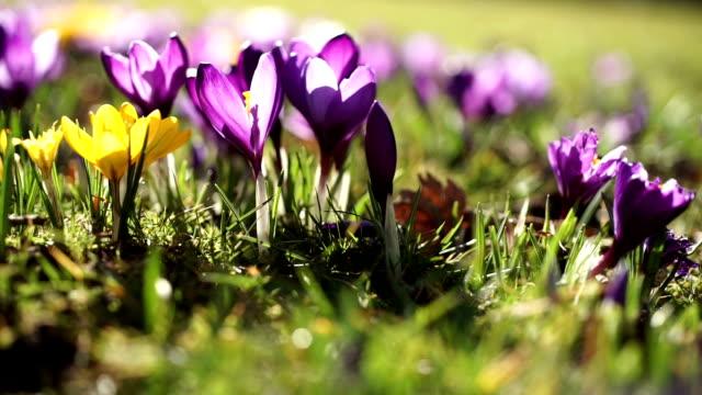 vidéos et rushes de crocus de fleurs de printemps ensoleillé. - crocus