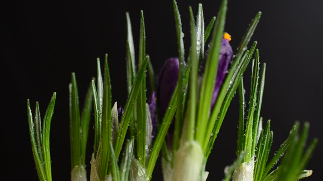 Crocus flowers on a black background. Falling drops of water on flowers. video