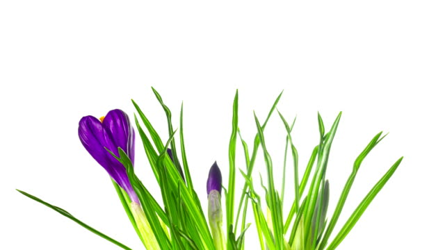 vidéos et rushes de fleurs de crocus sur blanc, timelapse - crocus