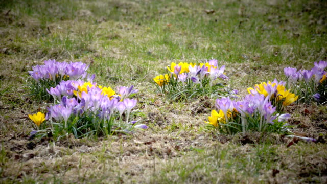 Crocus on a glade in sunny spring day video