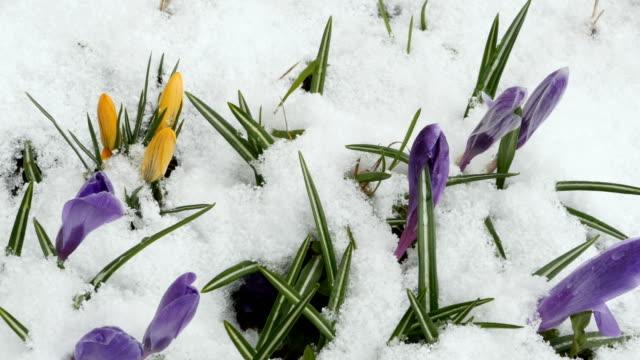 クロッカス春の花 - 雪点の映像素材/bロール