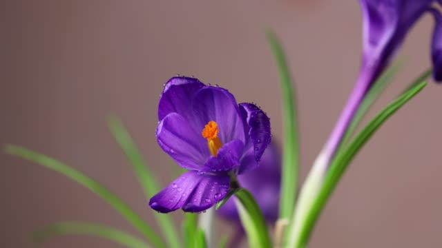 vidéos et rushes de crocus. laps de temps de crocus lilas bleu vif ou violet ou fleur de safran fleurissant sur fond rose. bouquet de vacances. vidéo 4k. - crocus