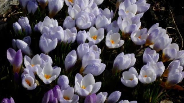 Crokus Blue Pearl in spring video