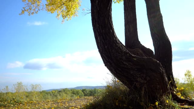 crooked tree in the forest crooked wood forest against blue sky bent stock videos & royalty-free footage