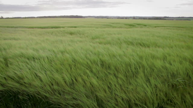 Crop blowing in the wind video