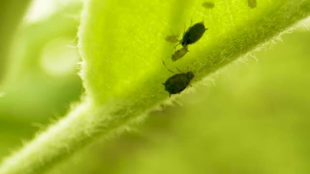 crop pest control. aphids eat a young green apple leaf. crop protection in orchards - pasożyt filmów i materiałów b-roll