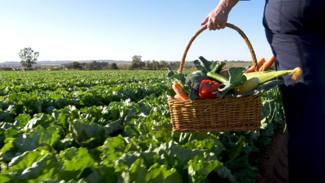 vídeos de stock e filmes b-roll de cropped close-up view of a female farmer walking through vegetable fields carrying a basket of freshly picked vegetables - agricultora