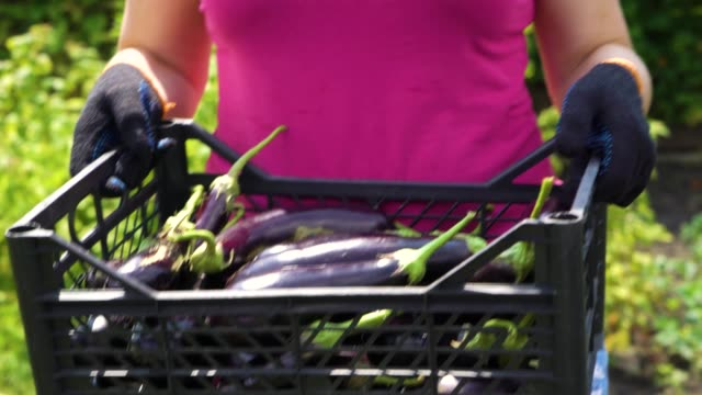 cropped shot of female farmer carrying plastic box with harvested eggplants