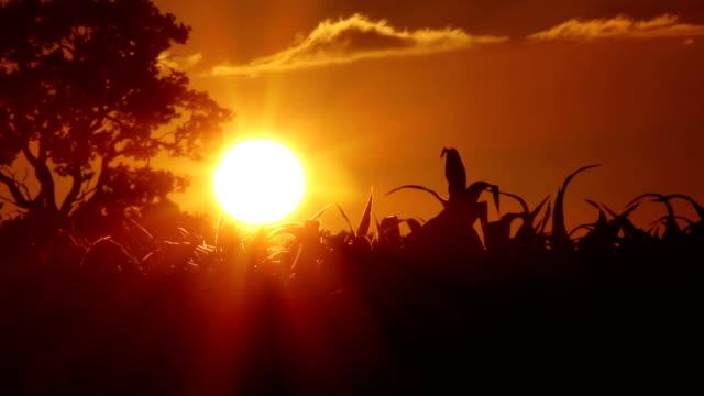 vídeos de stock e filmes b-roll de culturas ao pôr do sol - vídeos de milho