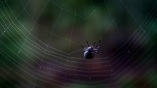 korsa spider web vävning - spindelväv bildbanksvideor och videomaterial från bakom kulisserna