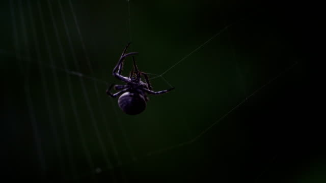 Cross Spider Web Weaving