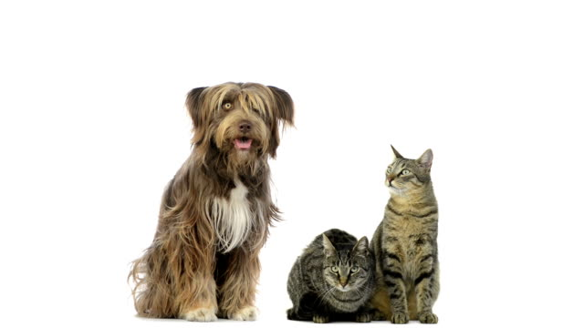 Crossbreed dog, cats sitting and looking around video