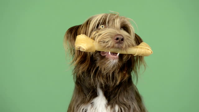 Crossbreed dog holding a bone in its mouth, greenkey video