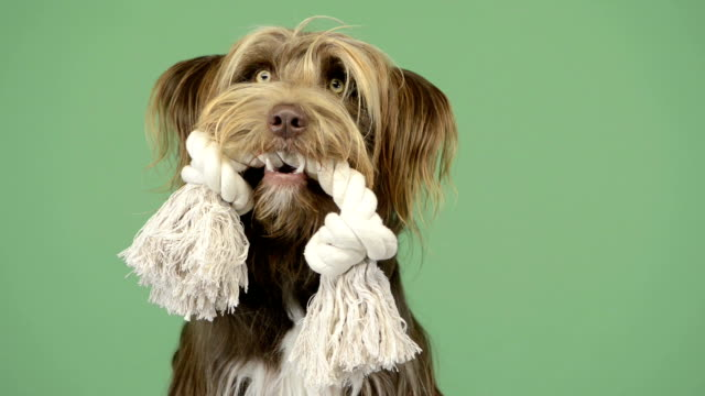 Crossbreed dog holding a rope in its mouth, greenkey video