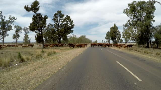 crossing the road with grass fed beef cattle - żywy inwentarz filmów i materiałów b-roll