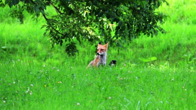 カラスと子供の狐 - イヌ科点の映像素材/bロール