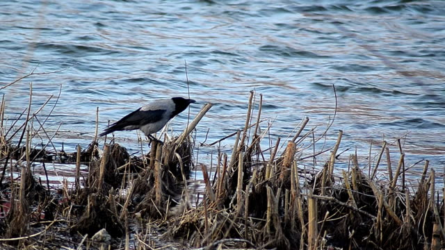 Crow at the river side - Video video