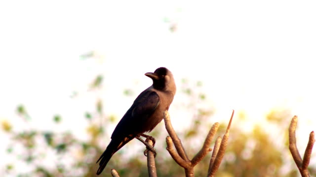 Pássaro de corvo sentado no galho da árvore - vídeo