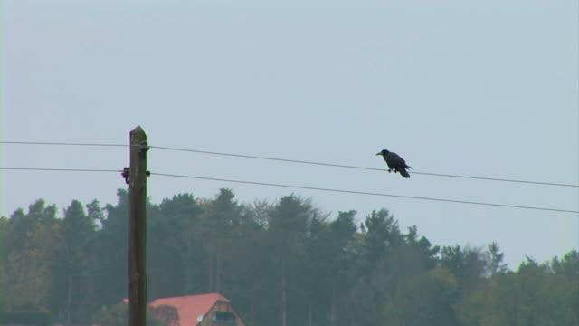Crow bird video
