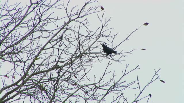 クロウ鳥の木 - 2匹点の映像素材/bロール
