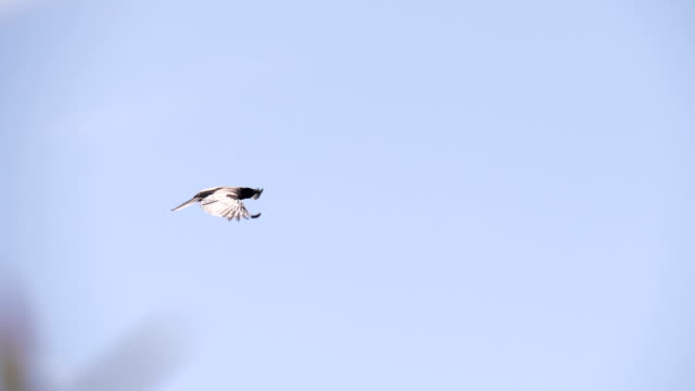 Crow Fly Blue Sky Tree Slow Motion - video