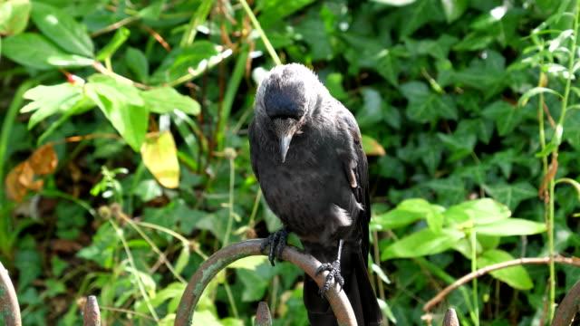 Bидео Crow gets a sunflower seed close up