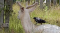 istock Crow hunting insect on the back of a white fallow deer 1251533044