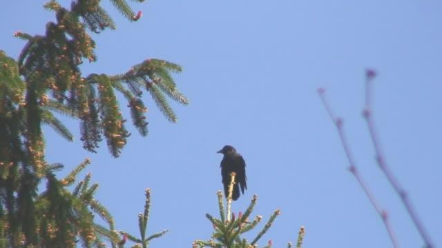corvo sulla cima di albero - appollaiarsi video stock e b–roll