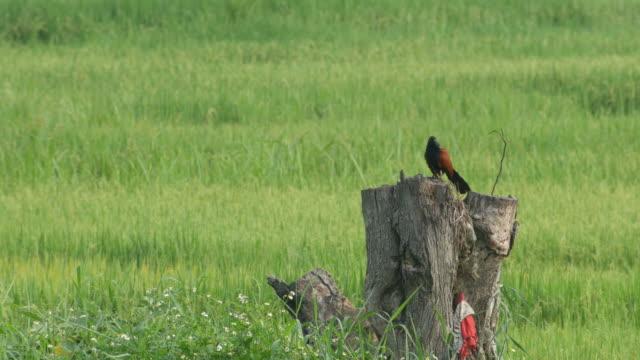 Crow pheasant resting on the stump video