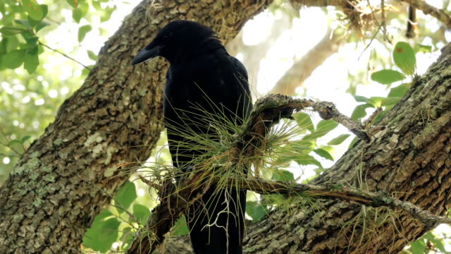 Crow Raven Blackbird Full-Body Perched in Tree Crow on pine branch looking around. scavenging stock videos & royalty-free footage