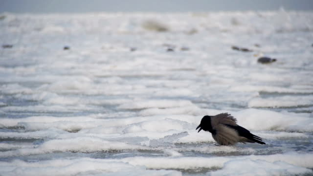 Crow Sits on the Frozen Ice-Covered Sea in Slow Motion video