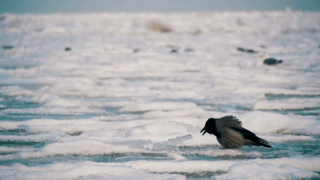 crow sits on the frozen ice-covered sea in slow motion - графство дерри стоковые видео и кадры b-roll