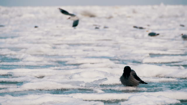 crow sits on the frozen ice-covered sea - графство дерри стоковые видео и кадры b-roll
