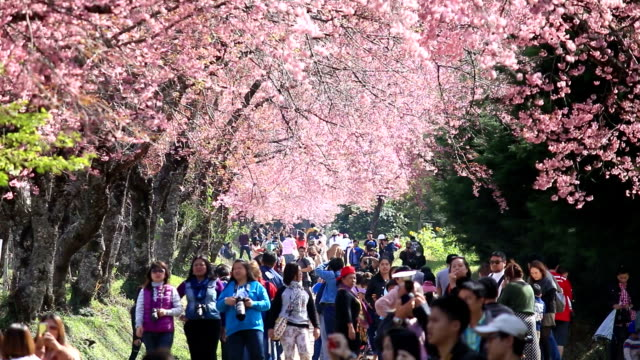crowd and tourist enjoy in spring cherry blossoms - cherry blossom stock videos and b-roll footage