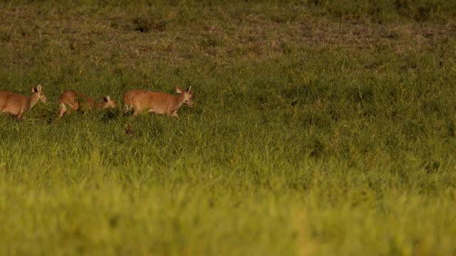 crowd deer walk through out on grass - single pampas grass bildbanksvideor och videomaterial från bakom kulisserna