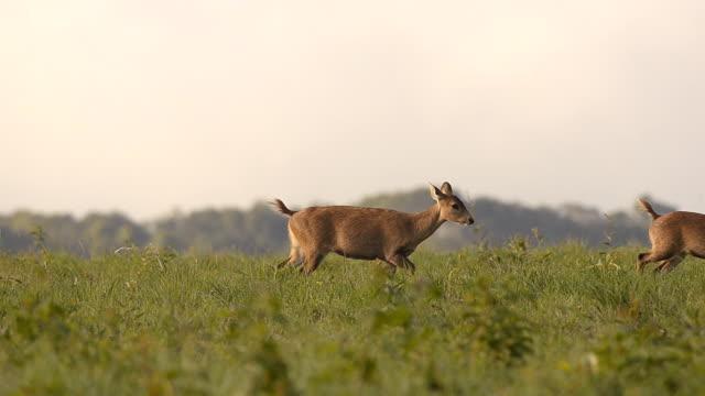 crowd deer walk through out - single pampas grass bildbanksvideor och videomaterial från bakom kulisserna