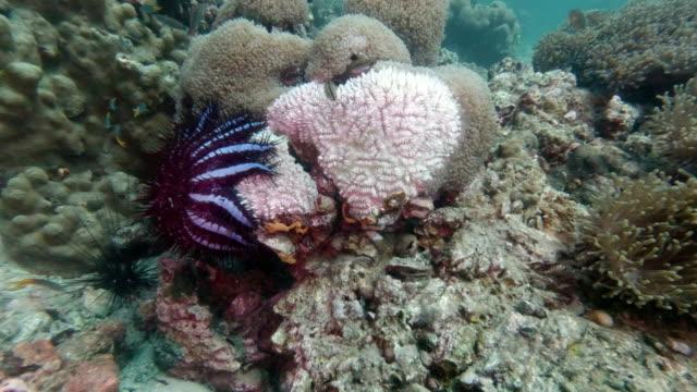 Dornenkrone Seestern (Acanthaster planci) beim Korallenessen – Video