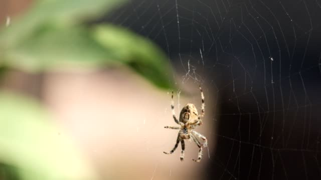 Crowned orb weaver sits in a web and does something (Araneus diadematus) video