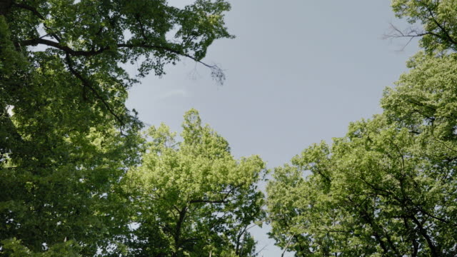 Crowns of large trees in wind, view from bottom video