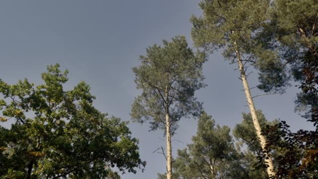 青い空を背景に松の冠。下のツリーで、カエルの視点のビュー、下から表示します。 - ローアングル点の映像素材/bロール