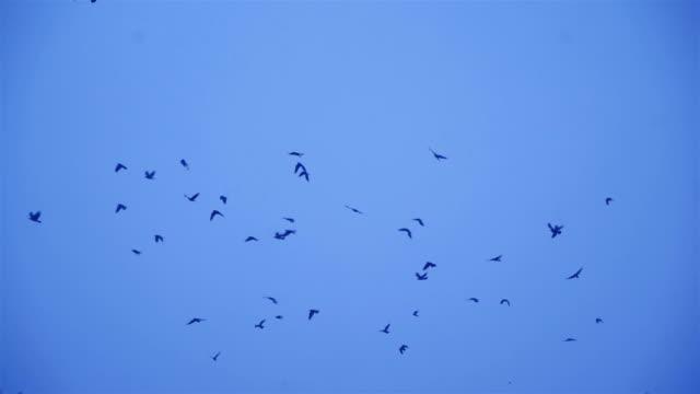 Crows In Flight. video