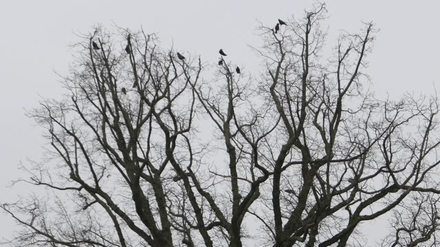 Crows on a tree flying on and off bare branches video