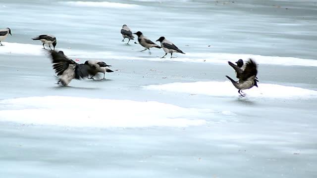 crows giocare nella neve - appollaiarsi video stock e b–roll