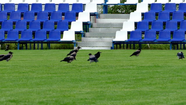 crows sitting on green lawn of empty football field with blue benches - football field stock videos & royalty-free footage