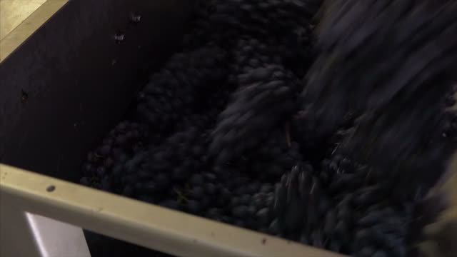 Crush grapes in harvest video