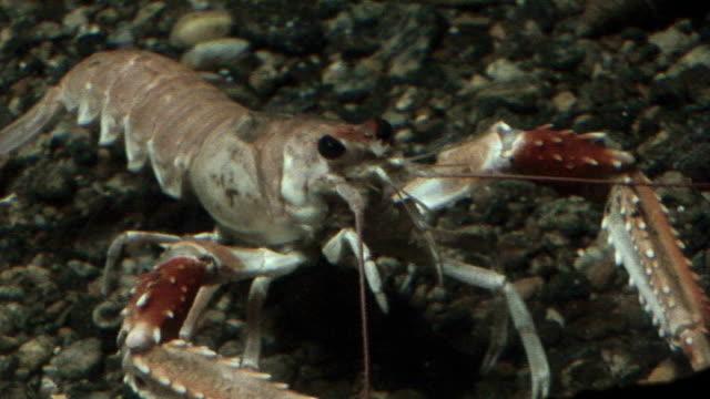 crustaceans - crayfish, shrimp, krill - crostaceo video stock e b–roll