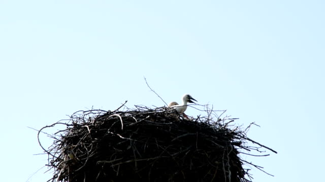 Cub of a  European White Stork - Ciconia Ciconia - in nest