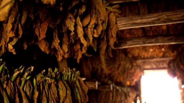 vídeos de stock, filmes e b-roll de cuba: viajar: folhas de tabaco no vale de vinales - estilo de vida dos abastados
