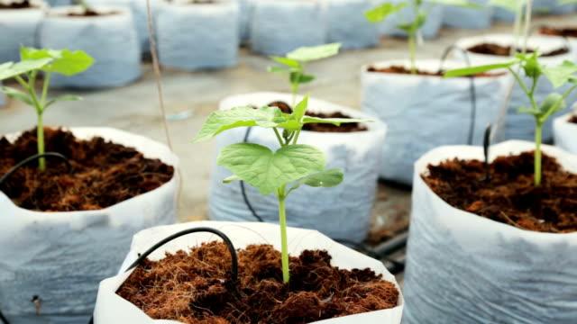 vidéos et rushes de usine de concombre dans serre format haute définition. - botanique